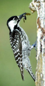 lores_Red-cockaded Woodpecker